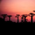 Baobab is grondstof voor voedingsmiddelen